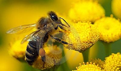 Донская пчела