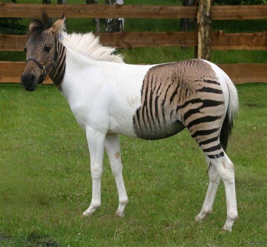Гибрид зебры и лошади