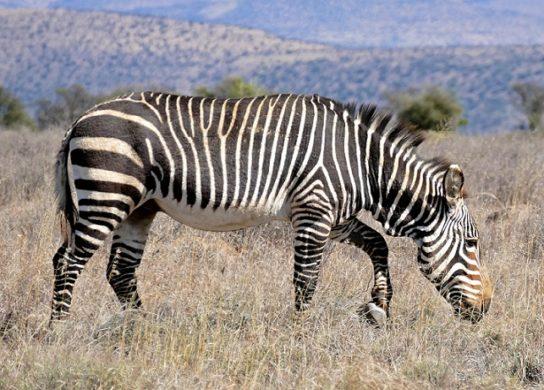 Капская горная зебра