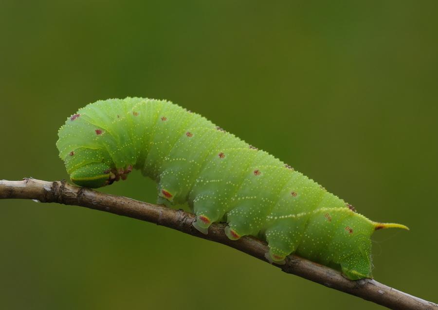 Разновидность гусениц фото и названия