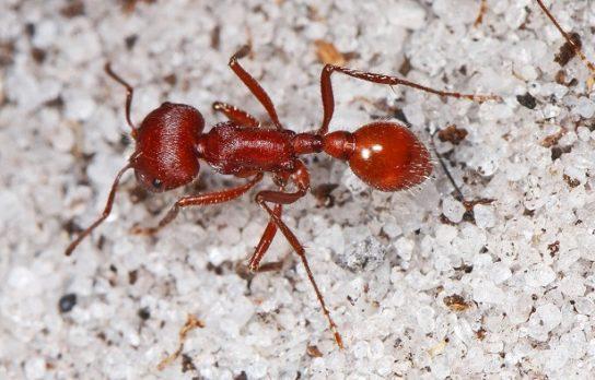 Кроваво-красный муравей