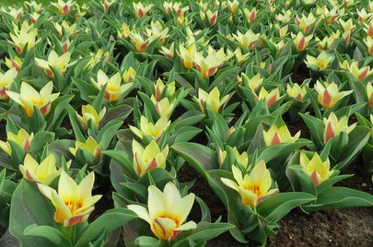 где растут лилейные растения