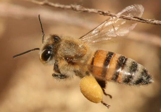 фото и описание пчел