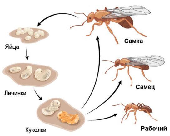 Жизненный цикл муравьев