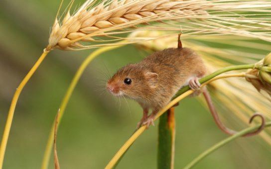 чем питаются мыши - фото 9