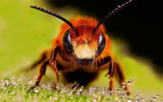 краткое описание пчелы