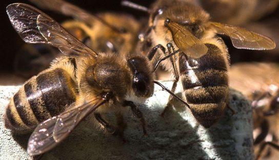Пчела абхазянка