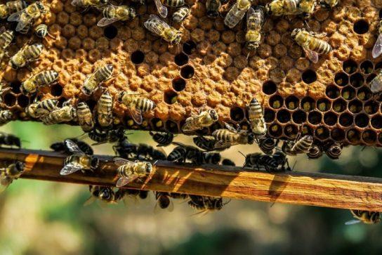 Территория распространения пчел