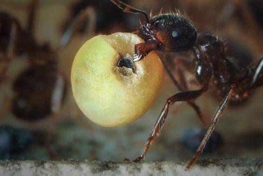 рацион питания муравьев