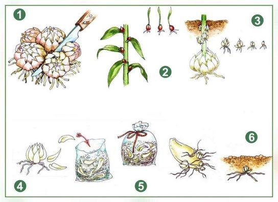 схема размножения лилейных растений