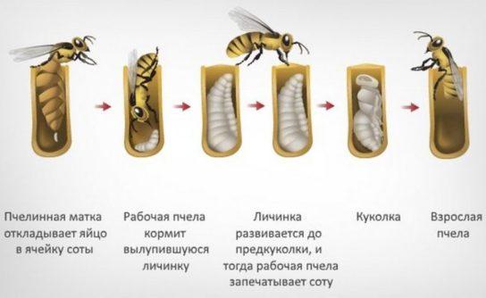Схема размножения матки пчелы