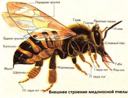 особенности строения пчелы