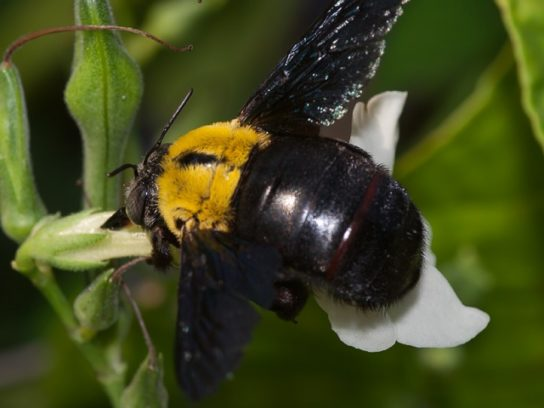 Тайские пчелы
