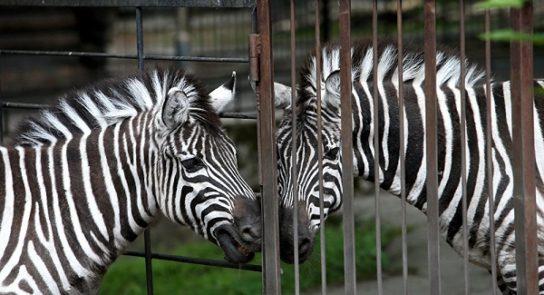 зебра в неволе