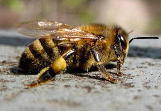 Желтая кавказская пчела