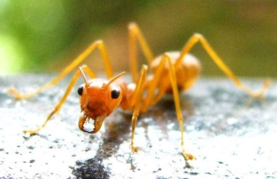 Желтый муравей-амазонка