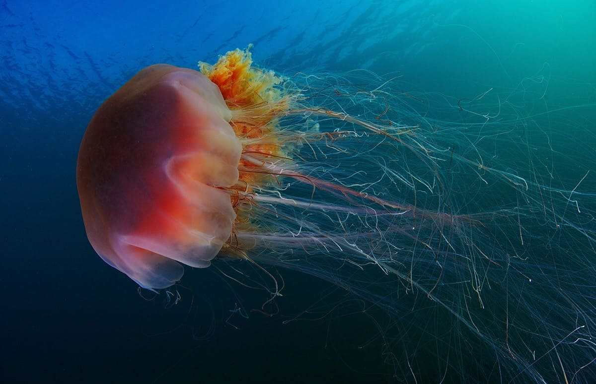 Медуза волосистая цианея фото