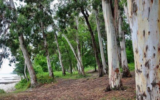 Эвкалиптовые леса