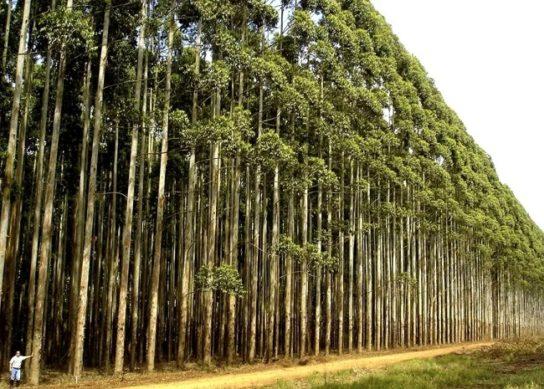 Описание евкалиптового леса
