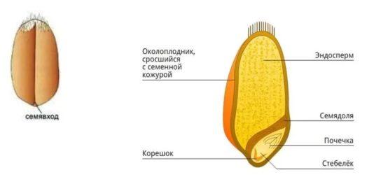 Схема строения однодольных