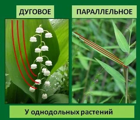 Жилкование листьев однодольных