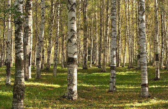 Березовый мелколиственный лес