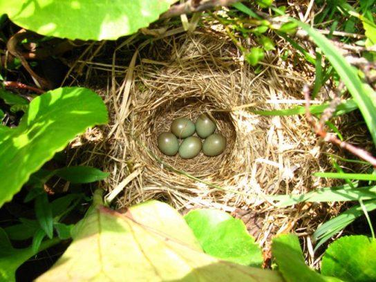 Яйца варакушки