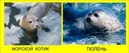 Чем тюлени отличаются от котиков