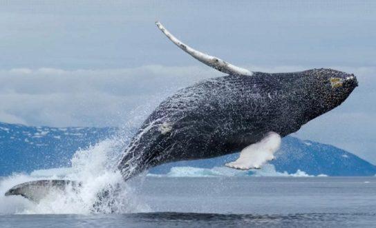 Гренландский кит - фото