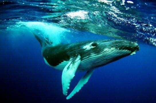 описание китов