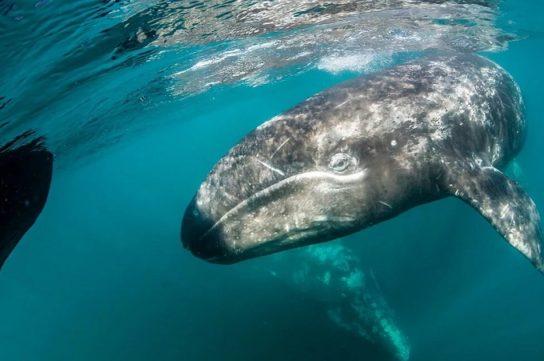 калифорнийский кит