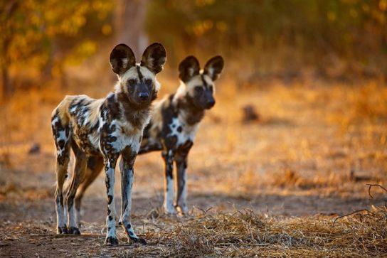 где обитают гиеновидные собаки