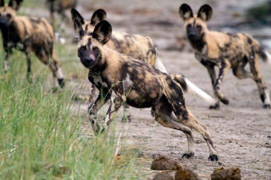 ареал обитания гиеновидной собаки