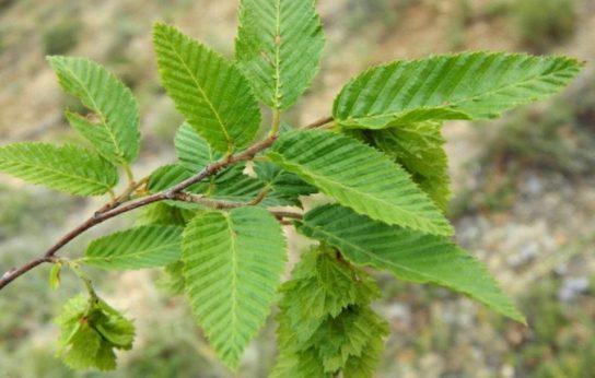 Дерево граб - фото 2