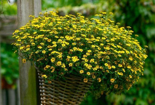 растение санвиталия - фото