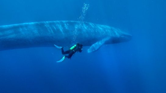 популяция синего кита