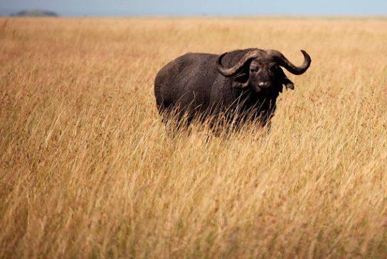 образ жизни буйвола
