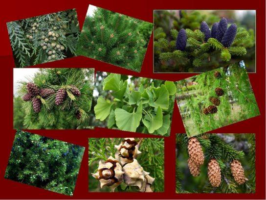 классы голосеменных растений