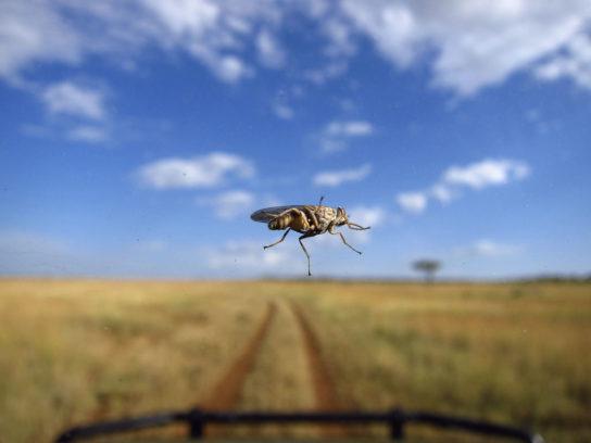 муха цеце - переносчик вируса