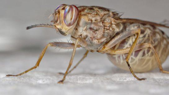как выглядит муха цеце