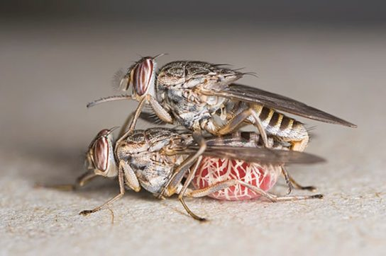 размножение мух цеце