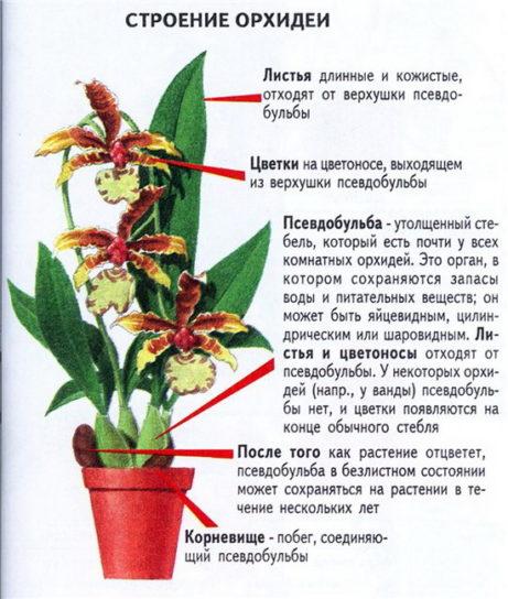 строение орхидных