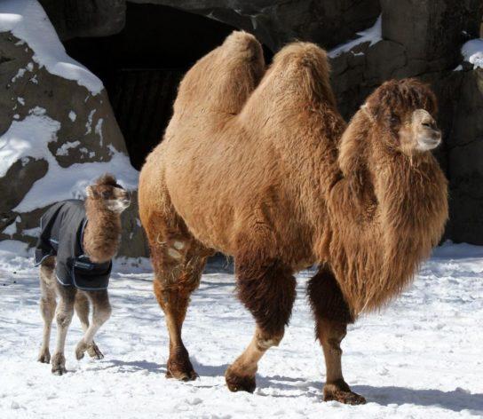 Двугорбый верблюд с детенышем
