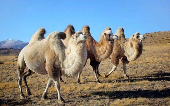 сколько живут двугорбые верблюды