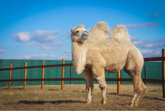 чем питается двугорбый верблюд