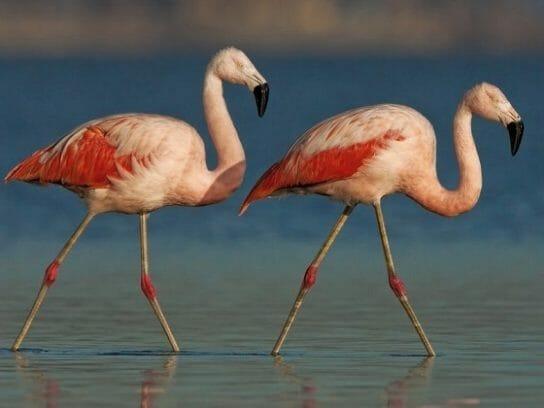 Чиллийский фламинго