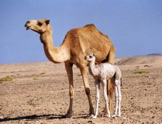 одногорбый верблюд с детенышем