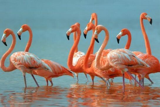 фламинго Красной книги