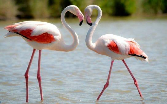 внешний вид фламинго