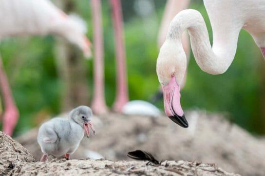 маленький птенец фламинго